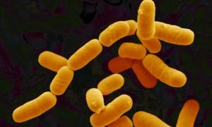 Lactobacillus-rhamnosus-b-001